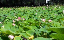 Fête des Lotus